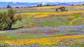 Wildflowers blooming on the rocky soil of North Table Mountain Ecological Reserve, Oroville, Butte County, California royalty free stock image