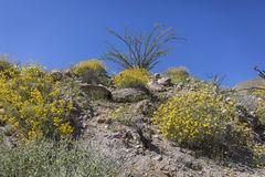 Wildflowers blooming in spring in Anza-Borrego State Park, Calif Royalty Free Stock Image