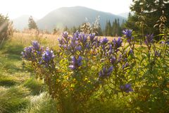Wildflowers blu luminosi nel prato alpino immagine stock libera da diritti