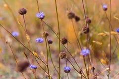 Wildflowers blu nel prato asciutto Fotografie Stock