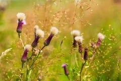 Wildflowers blu nel prato asciutto Fotografia Stock
