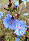Wildflowers blue, blossom Royalty Free Stock Photos