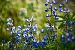 Wildflowers: Blue Lupine Stock Photos
