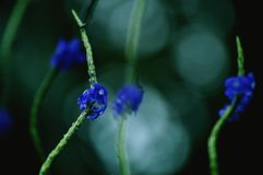 Blue wild flowers on a stem royalty free stock images