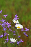 Wildflowers: bluebells and marguerites Royalty Free Stock Image
