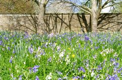 Wildflowers with Bluebells, tree trunks and a stone wall. Bluebells dominating a wildflower border with a stone wall in the background stock image