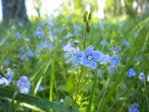 Wildflowers bonitos da mola que crescem no prado fotografia de stock royalty free