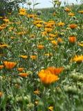 Wildflowers bonitos, Ucrânia foto de stock royalty free