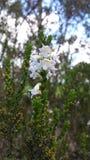 Wildflowers brancos Fotografia de Stock