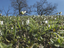 Wildflowers brancos no prado da mola foto de stock royalty free