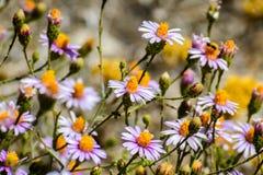 Wildflowers breweri ζυθοποιών ` s fleabane Erigeron στοκ εικόνες
