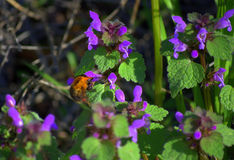 Wildflowers and bumblebee Royalty Free Stock Photo