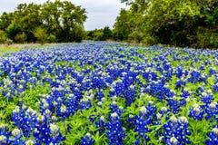 Wildflowers célèbres de texensis de Texas Bluebonnet Lupinus image stock