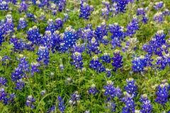 Wildflowers célèbres de texensis de Texas Bluebonnet Lupinus images libres de droits