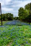 Wildflowers célèbres de texensis de Texas Bluebonnet Lupinus photo stock