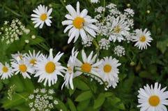 Wildflowers: camomiles y una milenrama Fotografía de archivo