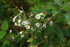 Wildflowers canadenses Fotos de Stock Royalty Free