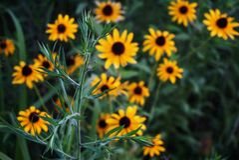 Wildflowers Chamomile στοκ εικόνες με δικαίωμα ελεύθερης χρήσης
