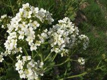 Wildflowers che crescono sul supporto Sulaiman-Too nella città di Oš Fotografie Stock Libere da Diritti