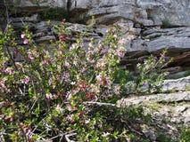 Wildflowers che crescono sul supporto Sulaiman-Too nella città di Oš Fotografia Stock