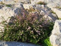 Wildflowers che crescono sul supporto Sulaiman-Too nella città di Oš Fotografia Stock Libera da Diritti