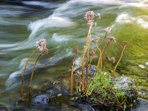 Wildflowers che crescono in una corrente Immagini Stock Libere da Diritti