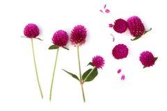 Wildflowers che fioriscono di estate, amaranto dell'amaranto di globo di globo isolato su fondo bianco fotografia stock libera da diritti