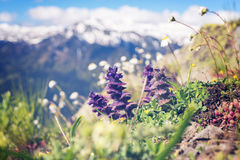 Wildflowers, close-up, blooming in the alpine meadow Royalty Free Stock Photography