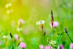 Wildflowers of clover in meadow. Summer background. Soft focus. Macro.  stock images
