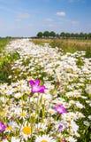 Wildflowers coloridos em uma borda do campo Imagens de Stock