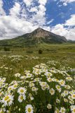 Wildflowers con cresta de la mota Imagen de archivo libre de regalías