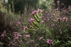 Wildflowers consideravelmente roxos em um prado verde com foco seletivo e fundo borrado fotografia de stock royalty free