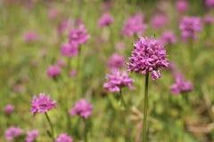 Wildflowers cor-de-rosa imagem de stock