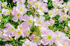 Wildflowers cor-de-rosa e brancos Imagem de Stock Royalty Free