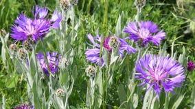 Wildflowers cornflowers sway in the wind stock video footage