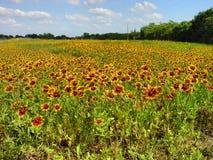 Wildflowers couvrants indiens de pulchella de Gaillardia photo stock