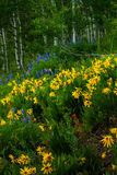 Wildflowers Of Crested Butte Stock Photography