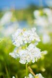 Wildflowers d'été par ZVEREVA Photographie stock