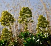 Wildflowers d'Aeonium Photographie stock