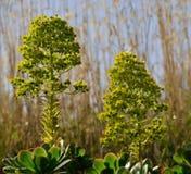Wildflowers d'Aeonium Images stock