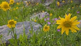 Wildflowers d'arnica et de géranium collant Photo libre de droits