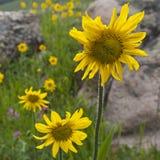 Wildflowers d'arnica et de géranium collant Photos libres de droits