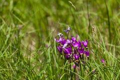 Wildflowers da estrela de tiro imagem de stock royalty free
