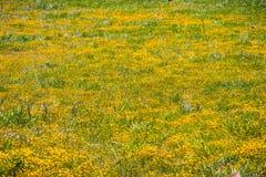 Wildflowers da jazida de ouro que florescem no solo serpentino na área de San Francisco Bay sul, San Jose, Califórnia; fundo para imagem de stock