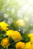 Wildflowers da mola Imagens de Stock Royalty Free