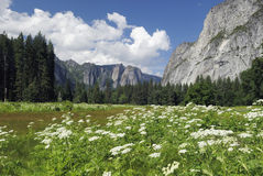 Wildflowers da mola no vale de Yosemite Foto de Stock