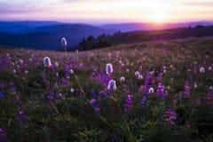 Wildflowers da montanha backlit pelo por do sol Imagem de Stock Royalty Free