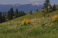 Wildflowers da raiz de Rocky Mountains Arrow Leaf Balsam foto de stock