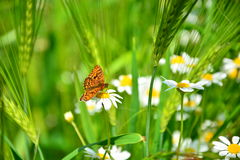 Wildflowers daisies. Colorful monarch butterfly sitting on chamomile flowers Royalty Free Stock Photo