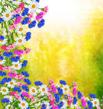 Wildflowers daisies. Summer landscape. Royalty Free Stock Image